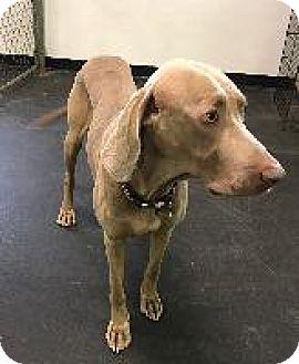 Weimaraner Dog for adoption in Fayetteville, Arkansas - Major
