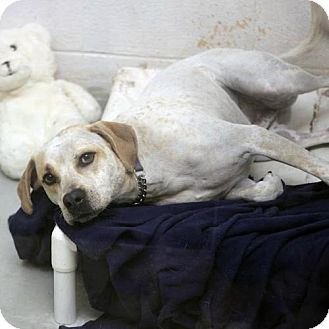 Pointer/Labrador Retriever Mix Dog for adoption in Pensacola, Florida - Brewster