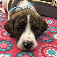 Adopt A Pet :: Murdock - Fairfax, VA