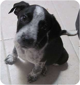Australian Cattle Dog/Border Collie Mix Puppy for adoption in The Colony, Texas - Bigby