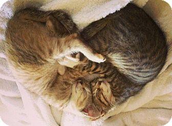 Domestic Mediumhair Kitten for adoption in San Antonio, Texas - Lime