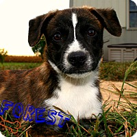 Adopt A Pet :: Forrest - Brazil, IN