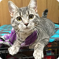 Domestic Shorthair Cat for adoption in Lutherville, Maryland - Rue