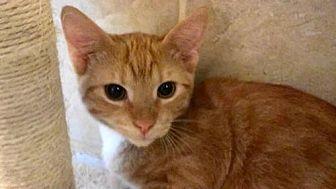 Domestic Shorthair Cat for adoption in Tyler, Texas - AA-Corban