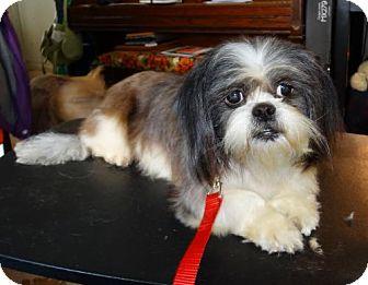 Shih Tzu Dog for adoption in Tacoma, Washington - Flicker