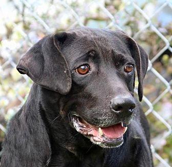 Labrador Retriever Mix Dog for adoption in Asheville, North Carolina - Shadow