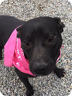 Terrier (Unknown Type, Medium) Mix Dog for adoption in Greensboro, North Carolina - Vegas Lights