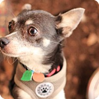 Chihuahua Mix Dog for adoption in Morganville, New Jersey - Bella (chihuahua)