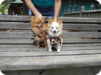 Pomeranian Mix Dog for adoption in Kannapolis, North Carolina - Pixie  & Sugar Pop- Adopted!