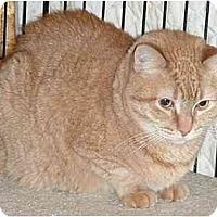Adopt A Pet :: Zoey (declawed) - Chesapeake, VA
