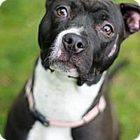 Adopt A Pet :: Willow - Tinton Falls, NJ