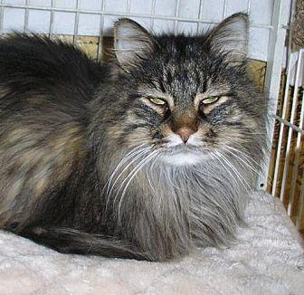 Maine Coon Cat for adoption in Eldora, Iowa - Bud
