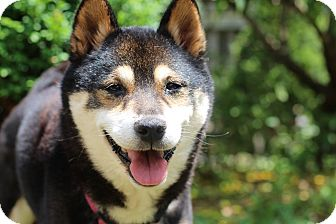 Shiba Inu Dog for adoption in Manassas, Virginia - Aneko