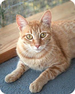 Domestic Mediumhair Cat for adoption in St Helena, California - Peaches