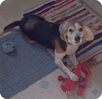 Beagle/Hound (Unknown Type) Mix Dog for adoption in Lexington, Massachusetts - Chazzy