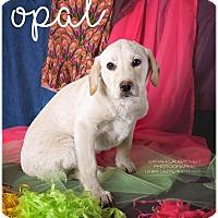 Adopt A Pet :: Opal - Cincinnati, OH