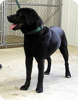 Labrador Retriever Mix Dog for adoption in Centerpoint, Indiana - Teddy