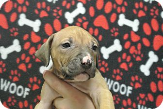 Boxer/Shepherd (Unknown Type) Mix Puppy for adoption in white settlment, Texas - Cole