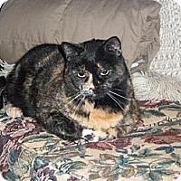 Domestic Shorthair Cat for adoption in Rochester, Minnesota - Calli