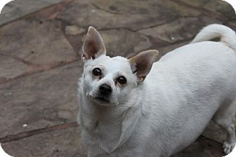 Chihuahua Mix Dog for adoption in Houston, Texas - McMuffin