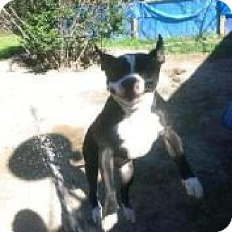 American Bulldog Mix Dog for adoption in Cleveland, Texas - Cruizer