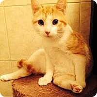 American Shorthair Cat for adoption in Medford, New Jersey - Chubby