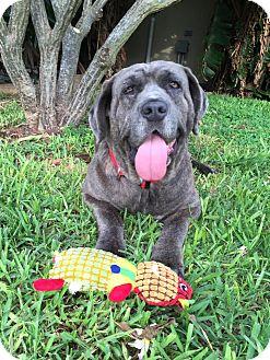 Neapolitan Mastiff/Mastiff Mix Dog for adoption in Missouri City, Texas - Baloo