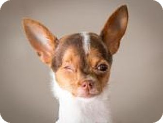 Chihuahua Puppy for adoption in South Amboy, New Jersey - Pearlie Mae