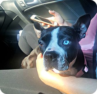 Boston Terrier Dog for adoption in Greensboro, North Carolina - Nala - Adoption Pending