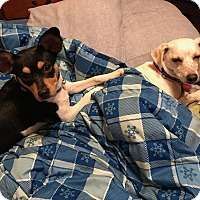 Rat Terrier Mix Puppy for adoption in Chicago, Illinois - Peggy Sue