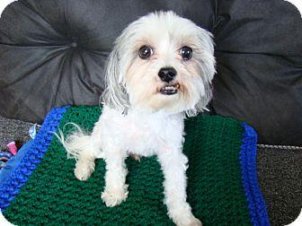Maltese/Poodle (Miniature) Mix Dog for adoption in Rosalia, Kansas - Teddy