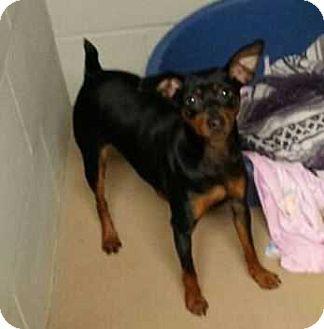 Miniature Pinscher Dog for adoption in Richmond, Kentucky - Bodie