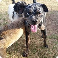 Adopt A Pet :: Mabel - Norman, OK