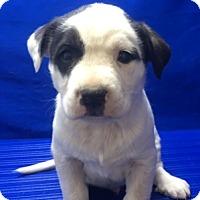 Adopt A Pet :: Mark - Show Low, AZ