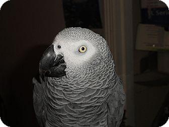 African Grey for adoption in Vancouver, Washington - Tame 11 Y.O Congo African Grey