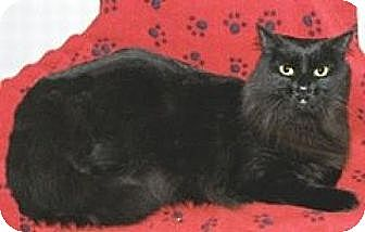 Maine Coon Cat for adoption in Miami, Florida - Lily