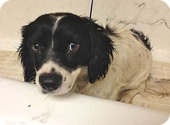 Cavalier King Charles Spaniel/Collie Mix Dog for adoption in Los Angeles, California - Freckles