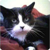Adopt A Pet :: Mittens - Washington Terrace, UT