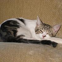 Domestic Mediumhair Cat for adoption in Houston, Texas - Duncan