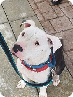 American Pit Bull Terrier Dog for adoption in Allentown, Pennsylvania - Mikey
