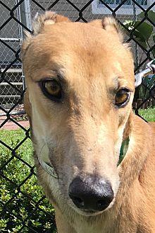 Greyhound Dog for adoption in Longwood, Florida - NB's Brilliant