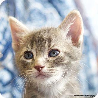 Domestic Shorthair Kitten for adoption in Huntsville, Alabama - Ruger