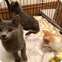 Adopt A Pet :: Mr Gray - Colmar, PA