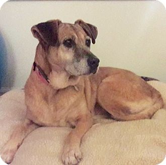 Labrador Retriever Mix Dog for adoption in Mount Pleasant, South Carolina - Carmen