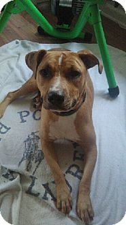 American Staffordshire Terrier Mix Dog for adoption in Jacksonville, Florida - Dash