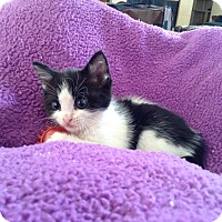 Adopt A Pet :: PATCHES - Palm Desert, CA
