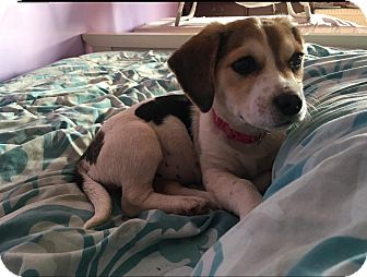 Hound (Unknown Type) Mix Puppy for adoption in Sagaponack, New York - Poppy