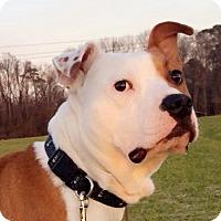 Adopt A Pet :: Bergermeister - Smithfield, NC