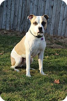 American Bulldog/Pit Bull Terrier Mix Dog for adoption in Huntington, New York - Macho
