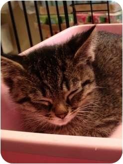Domestic Shorthair Kitten for adoption in Wenatchee, Washington - Kittten